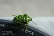 Green stink bug (Acrosternum hilare) crawls along edge of lens filter in Kirkwood, Missouri.