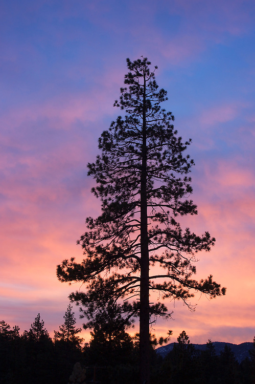 Jeffrey Pine tree silhouetted against sunrise sky with pink clouds; Big Bear Lake, San Bernardino Mountains, California.