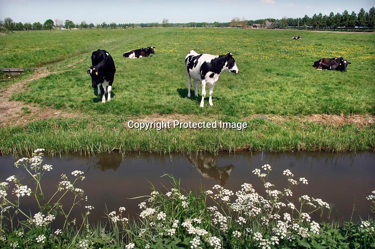 Nederland, Nieuwerkerk, 8-5-2015Koeien staan in een weiland in de Zuidplaspolder bij Nieuwerkerk aan den IJssel. Zij staan op het laagste punt van Nederland, -6,76 m.Foto: Flip Franssen/Hollandse Hoogte