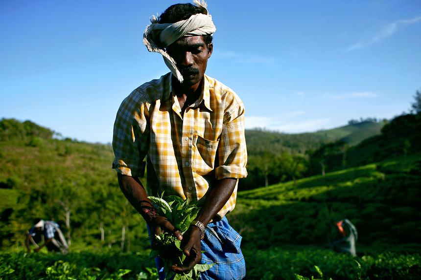 Labourers plucking tea in Roy Joseph's tea farm in Kallar, Idukki.Kerala