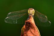 Common Darter (Sympetrum striolatum) | Große Heidelibelle (Sympetrum striolatum)
