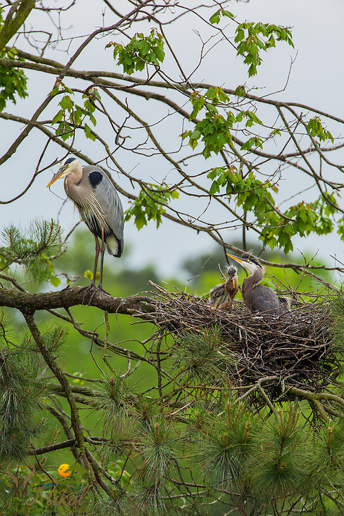 Young Great Blue Herons in nest with adult