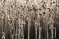 Takrør, Phragmites australis, dekket av frost, Stokkavatnet, Stavanger