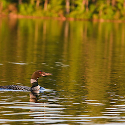 A common loon, Gavia immer, on White Lake in Tamworth, New Hampshire.