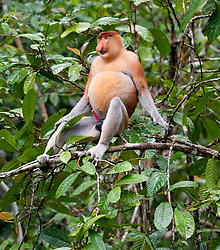 A male proboscis monkey is pictured near the Kinabatangan River, on August 5, 2019 near Sandakan city, State of Sabah, North of Borneo Island, Malaysia. Palm oil plantations are cutting down primary and secondary forests vital as habitat for wildlife including the critically endemic proboscis monkeys. Photo by Emy/ABACAPRESS.COM