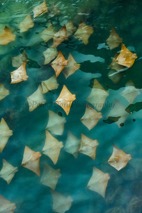 Golden Cownose Rays (Rhinoptera steindachneri)<br /> Puerto Ayora harbour, Santa Cruz Island<br /> Galapagos<br /> Ecuador, South America