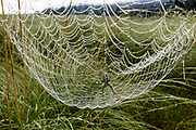 Dew formed on an orb web has caused it to sag and form a shape like an inverted parachute, emphasizes the striking organization of the spider's net. Valles Caldera National Preserve, © 2017 David A. Ponton [Prints to 8x12, 16x24, 24x36 or 40x60 in. with no cropping]