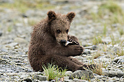 A Brown bear spring cub eats a piece of salmon while sitting on the beach at the McNeil River State Game Sanctuary on the Kenai Peninsula, Alaska. The remote site is accessed only with a special permit and is the world's largest seasonal population of brown bears in their natural environment.