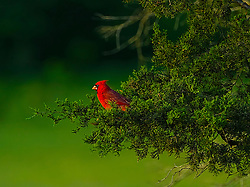 Cardinal Birds are a family of birds found in North and South America. ..I captured this shot of a beautiful male cardinal bird in a pine tree at Broemmelsiek Park.