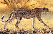 Cheetah prowling at Grumeti, Tanzania, East Africa -RESERVED USE