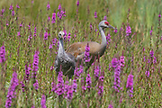 Sandhill Crane with colt among wildflowers, Westham Island, Delta BC