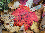 Red maple leaf. See views of the Presidential Range from the Ledge Trail in Randolph Community Forest in the Crescent Range, starting along US Highway 2, in New Hampshire, USA. The White Mountains (a range in the northern Appalachian Mountains) cover a quarter of the state of New Hampshire. Leaf peepers love the peak of autumn foliage around the first week of October.