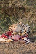 Cheetah in African habitat