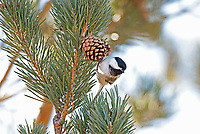 A Black Capped Chickadee in a pine tree feeds on the pine nuts inside the pine cones.