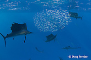 Atlantic sailfish, Istiophorus albicans, use a cooperative hunting strategy to herd sardines into a baitball for easier feeding, Yucatan Peninsula, Mexico ( Caribbean Sea )
