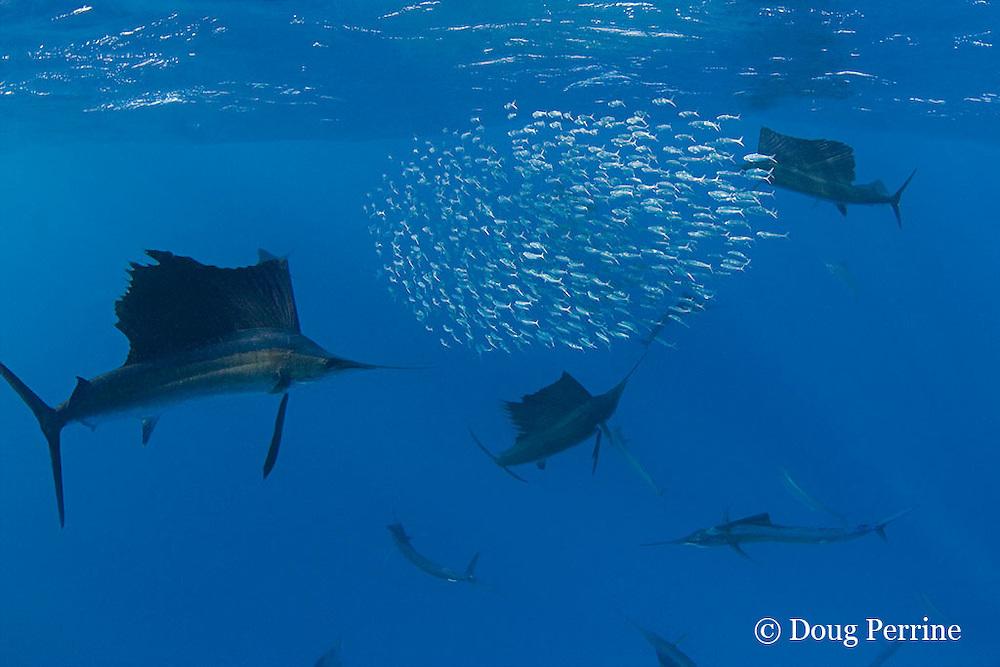 Atlantic sailfish, Istiophorus albicans, use a cooperative hunting strategy to herd sardines into a baitball for easier feeding, Yucatan Peninsula, Mexico ( Caribbean Sea )