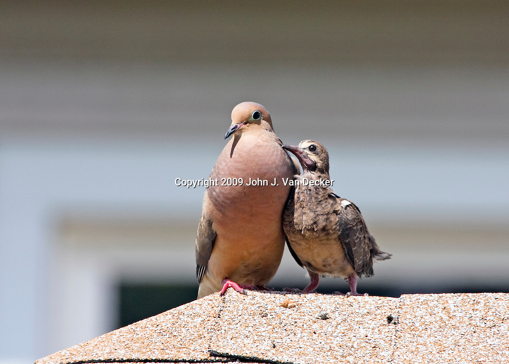 Mourning Dove with fledgling