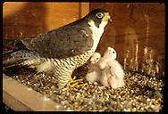 Peregrine falcon (Falco peregrinus) mom tends week-old chicks, Missouri's first wild-hatched in 100 years, atop ATT building; St. Louis, Missouri