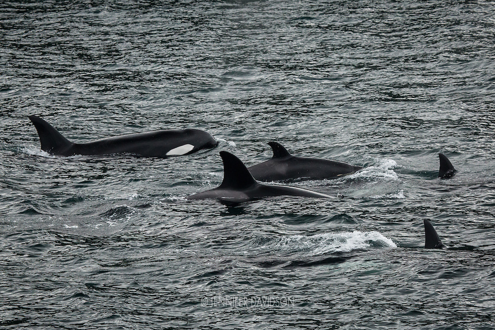 Orcas surface near Alert Bay, British Columbia, Canada.