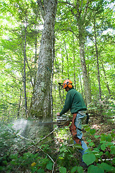 A logger cuts down a tree in a selective harvest.  Dartmouth College forest - Second College Grant, NH.  Green certified.