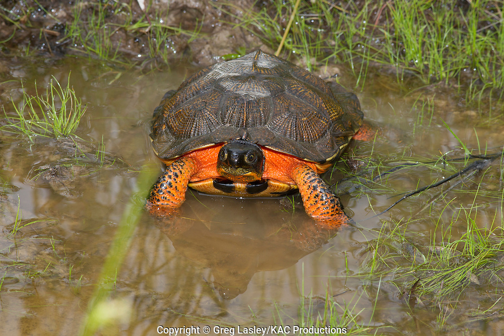 Wood Turtle.Glyptemys insculpta.Tamarack Swamp.Tamarack,.Clinton Co., Pennsylvania.14 June 2010