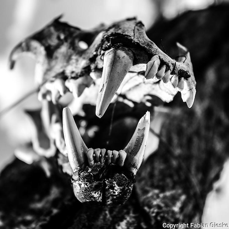 Botswana, Kalahari, Leopard skull
