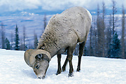 A bighorn sheep (Ovis canadensis canadensis) searching for winter browse in the snow. Lostine Ridge, Wallowa Mountains, Oregon.