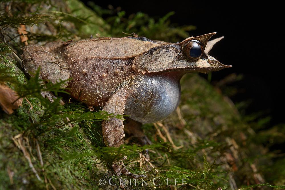 Bornean Horned Frog (Megophrys nasuta), vocalising