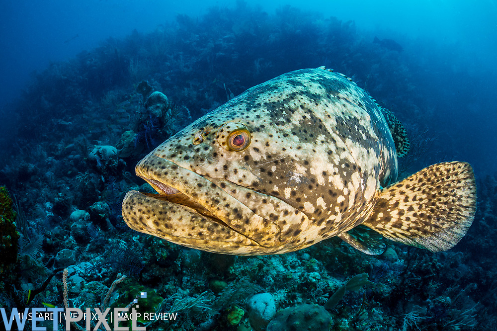 A portrait of a goliath grouper (jewfish: Epinephelus itajara) on a coral reef. Jardines de la Reina, Gardens of the Queen National Park, Cuba. Caribbean Sea.