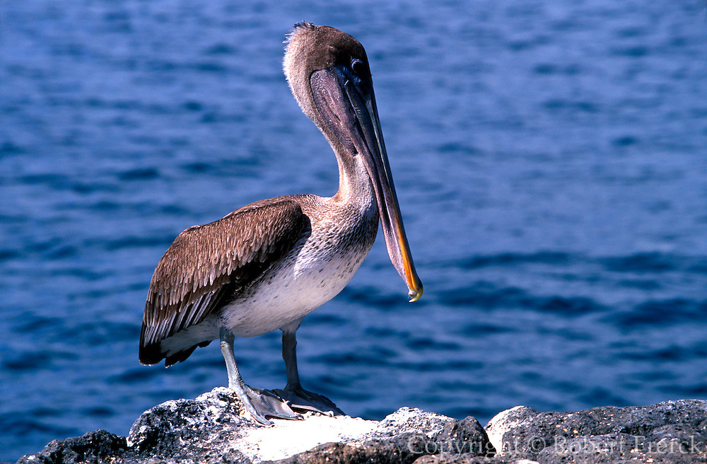 ECUADOR, GALAPAGOS ISLANDS Brown Pelican; Pelecanus occidentalis on North Seymour Island