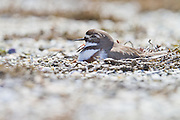 Banded Dotterel nesting and yawning, Awarua, New Zealand