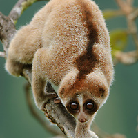 The newly distinguished Kayan Loris (Nycticebus kayan) differs from other Bornean loris species by a combination of morphological traits.