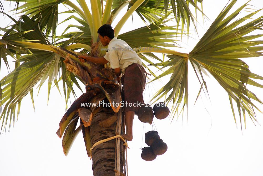 Myanmar, Bagan, picking dates for date sugar