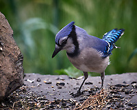 Blue Jay. Image taken with a Nikon D5 camera and 600 mm f/4 mm VR lens (ISO 1600, 600 mm, f/5.6, 1/1600 sec)
