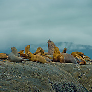 North America, United States, US, Northwest, Pacific Northwest, West, Alaska, Glacier Bay, Glacier Bay National Park, Glacier Bay NP. Stellar's sea lions relaxing on a rock in Glacier Bay National Park and Preserve, Alaska.
