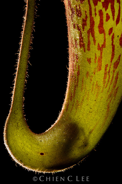 Near the summit of Gunung Murud (Sarawak's highest mountain), an new and undescribed species of tiny bush frog (Philautus sp.) hides within the fluid of a carnivorous pitcher plant (Nepenthes hurrelliana), apparently unaffected by the plant's digestive juices therein. Phytotelmata (water bodies held by plants) provide living quarters and breeding grounds for many unique creatures which are completely dependent on them.