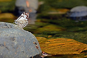 Pine white butterfly resting on a rock in the West Fork Yaak River. Yaak Valley in the Purcell Mountains, northwest Montana.