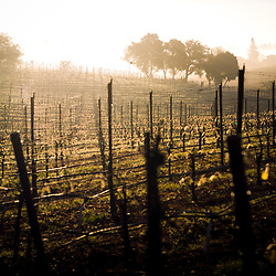 Vineyard, Sonoma County, California, USA