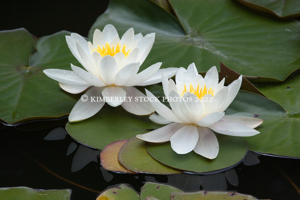 A pair of waterliliies reflected in a pool at Aurora Beach Cottage in Tasmania.