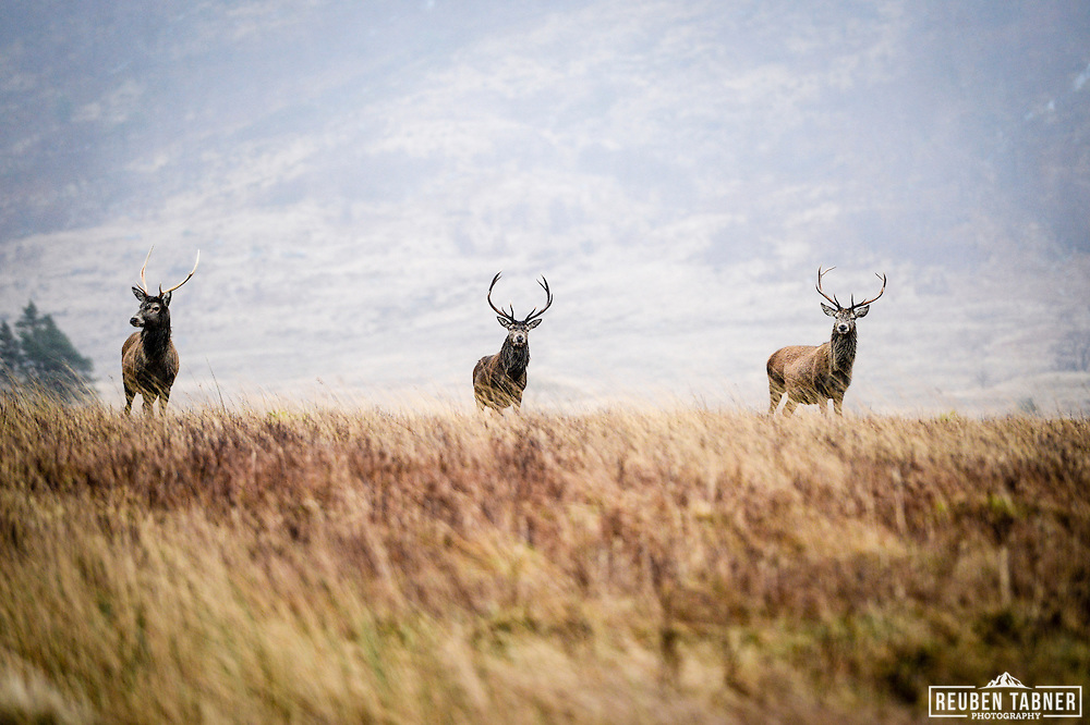The monarch of the glen, three red deer stag's stands guard on a cold winters day in Glen Etive, Scotland.