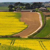 Oilseed Raoe fields, Farm, Rookley, Isle of Wight, England, UK,