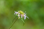 Basil beebalm, Monarda clinopodioides, Big Creek Scenic Area, Sam Houston National Forest, spring, Piney Woods, Texas.