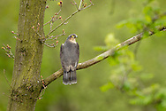 Sparrowhawk (Accipiter (nisus) perched on branch in woodland , Cheshire, UK