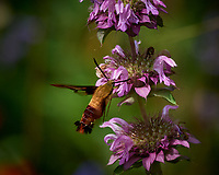 Hummingbird Clearwing moth feeding on a Lemon Mint flower. Image taken with a Nikon D5 camera and 80-400 mm VRII lens (ISO 560, 400 mm, f/8, 1/800 sec).