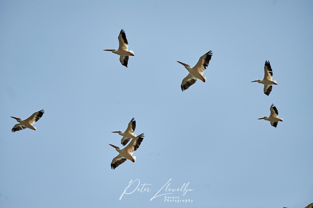 Flock of American White Pelicans (Pelecanus erythrorhynchos) in flight over Lake Chapala, Jalisco, Mexico