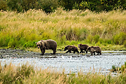 Sow Brown Bear number 402 and her three yearling cubs walk along the lower Brooks River lagoon in search of Sockeye Salmon at Katmai National Park and Preserve September 16, 2019 near King Salmon, Alaska. The park spans the worlds largest salmon run with nearly 62 million salmon migrating through the streams which feeds some of the largest bears in the world.
