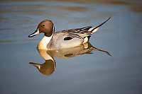 Northern Pintail (Anas acuta) swimming, George C. Reifel Migratory Bird Reserve, Vancouver , British Columbia, Canada