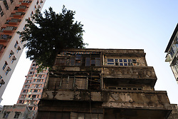 October 5, 2018 - Hong Kong, China - Chinese Banyan Tree (Ficus Microcarpa) is seen here grown on the roof top of a very old building at Temple Street, Yau Ma Tei, Kowloon. Strange scene of trees surviving on the building such as this can be seen at several spots in Hong Kong. (Credit Image: © Liau Chung-ren/ZUMA Wire)