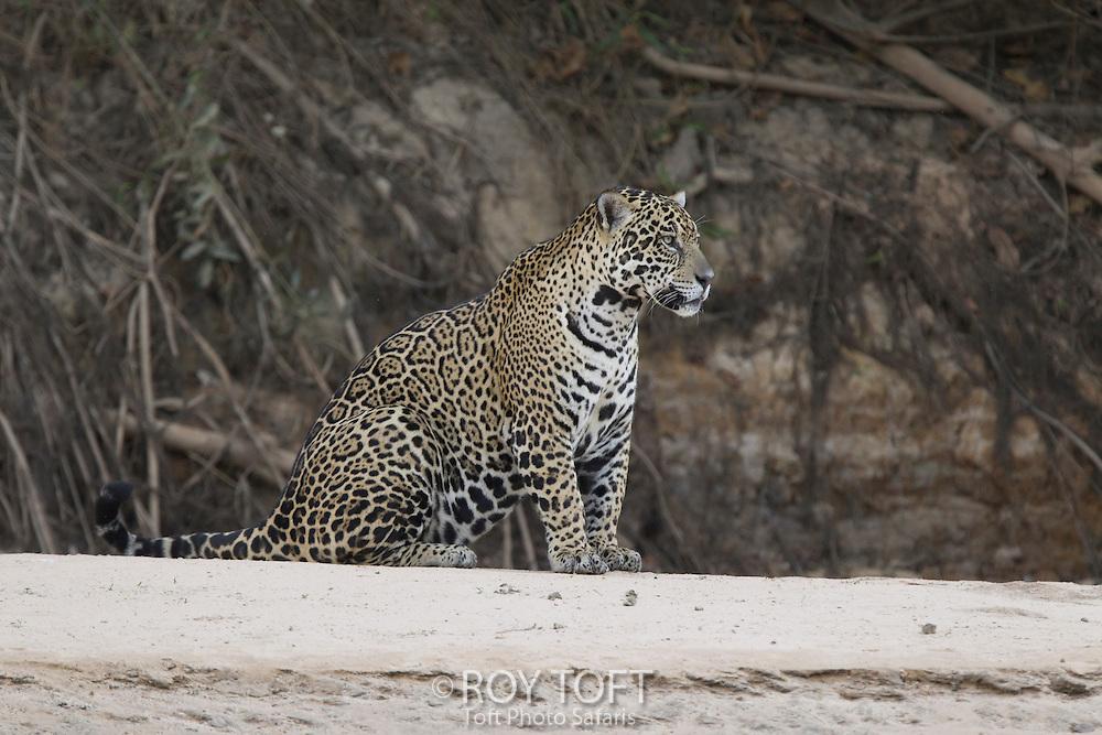 Wild Jaguar at riverbank, Pantanal, Brazil