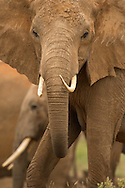 Elephant in Tsavo West National Park, Kenya<br />